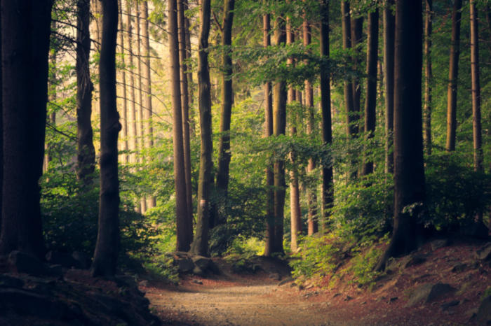 Picture of a forest with large trees, not a lot of undergrowth, but there's a small path.