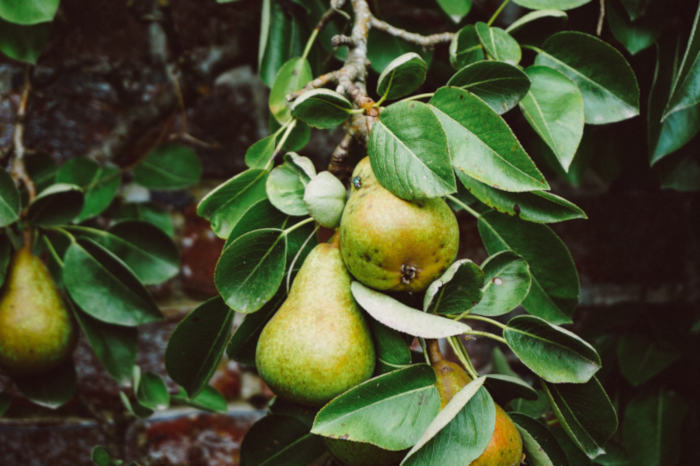 Picture of pears hanging on a tree, one is almost perfect, the other has a fly on it and some dark spots, not every fruit is perfect.